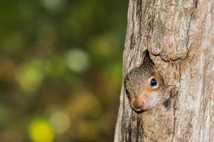 esquilo cinza bebê