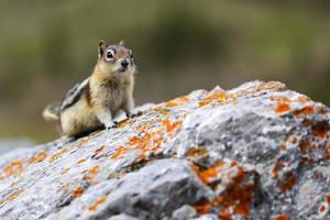Chipmunk on rock