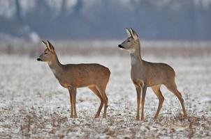 Two roe deer