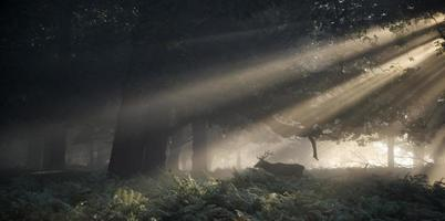 Red deer stag illuminated by sun beams through forest landscape photo