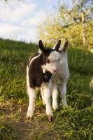 cabras en la naturaleza foto