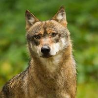 primer plano de lobo foto
