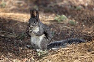 Abert's squirrel in Flagstaff Arizona photo