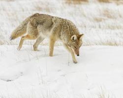 caza de coyotes para ratones durante el invierno foto