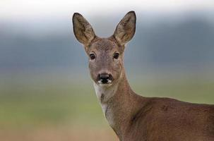 Roe deer - close up