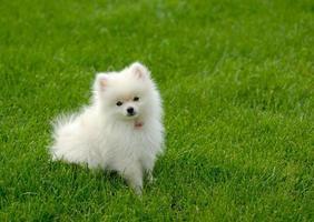Cachorro Pomerania blanco sobre césped con espacio para texto