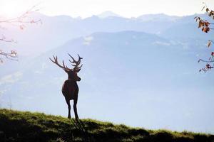 Deer in sunset