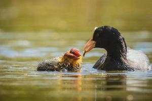 Coot feeds chicks