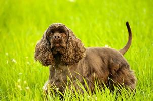 american spaniel stands in a green field