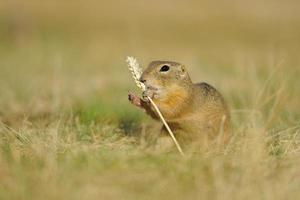 European ground squirrel with ear of avena