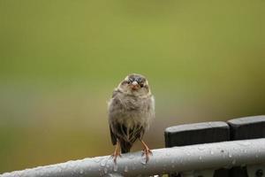 Sparrow on a Chair photo