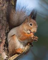 Eichhörnchen auf Ast der Kiefer mit einer Haselnuss