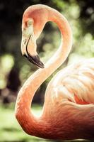 Pink flamingos against blurred background