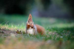 Curious cute red squirrel eatinh hazelnut in autumn forest ground
