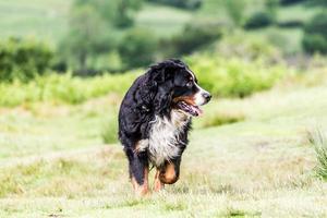 Bernese mountain dog photo