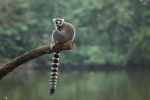 Sitting Lemur photo