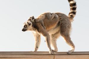 lindo bebé lémur en la espalda de su madre. foto