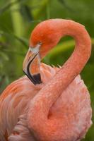 flamingo acicalado foto