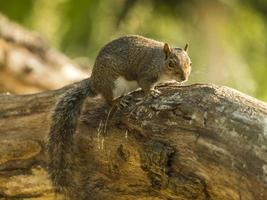 Grey Squirrel (Sciurus carolinensis) photo