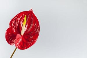 red flamingo flower