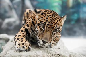 jaguar ( Panthera onca )