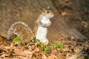 grey squirrel in the park