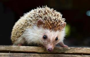 Porcupine photo