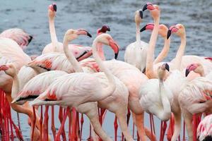 colonia de flamencos rosados en walvis bay namibia foto