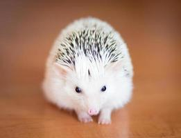 Cute white hedgehog on wooden floor photo