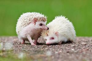 two african hedgehogs