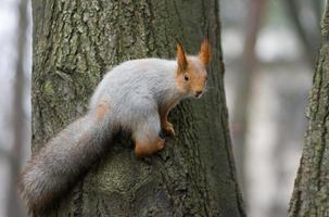 Eurasian red squirrel on the tree
