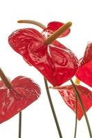 flores de anturio rojo (flamenco) foto