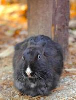 Black Rabbit in the nature