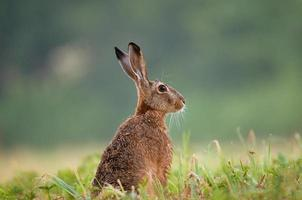 Brown hare sitting in a grass