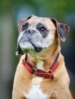 Purebred Boxer dog photo