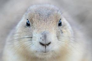 Prairie dog face up close