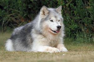 malamute uit Alaska