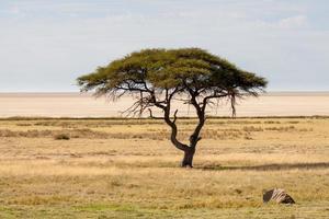 árvore na frente da panela de sal, parque nacional de etosha, namíbia