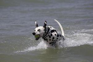Dalmatian playing in water with a ball.