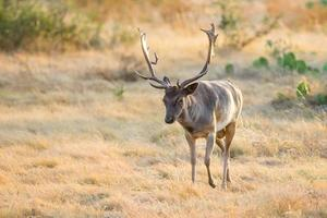 Wild Fallow Buck