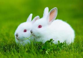 Funny baby white rabbit eating clover in grass photo