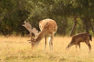 fallow deer stag  grazing