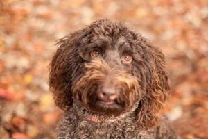 Brown golden doodle dog head shot