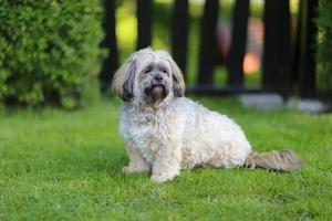 pura raza lhasa apso perro foto