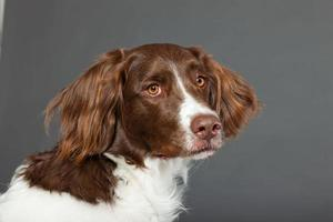 Dutch Partridge Dog on grey background. Studio portrait.