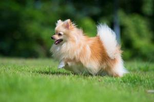 small orange pomeranian dog runing on the grass