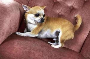 Funny cute chihuahua dog half-lying on the chair photo