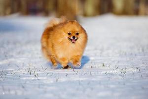 feliz perro spitz pomerania corriendo sobre la nieve foto