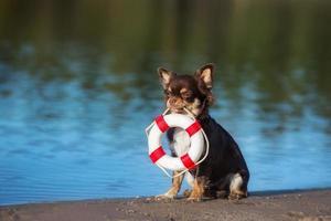 perro chihuahua sosteniendo una boya de vida