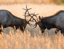 Male elk sparring photo